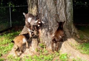 goats may 031