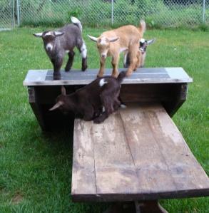 goats may 051