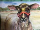 Sheared Shetland Sheep 5x7 $50